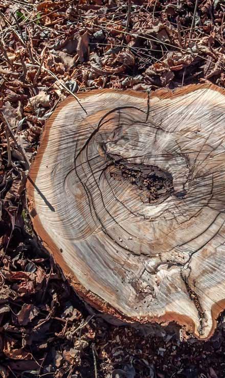 True Vine Landscape Management, Inc. Tree Removal